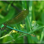 001b Weidebeekjuffer vrouw Calopteryx splendens