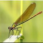 001c Weidebeekjuffer vrouw Calopteryx splendens