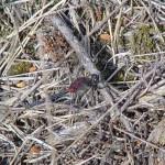Venwitsnuitlibel Leucorrhinia dubia