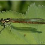 004c Pyrrhosoma nymphula