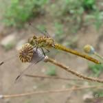 Steenrode heidelibel  vrouw Sympetrum vulgatum