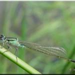 006 Lantaarntje Ischnura elegans