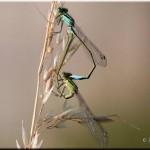 006d  Lantaarntje Ischnura elegans