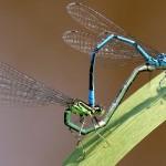 006e Lantaarntje Ischnura elegans