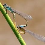 006f Lantaarntje Ischnura elegans
