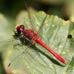 Bloedrode  heidelibel Sympetrum sanguineum