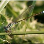 008a Lantaarntje Ischnura elegans