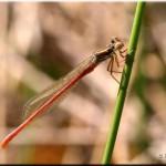 009b Lantaarntje Ischnura elegans