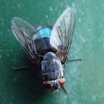 Blauwe-vleesvlieg-Calliphora-vomitoria.
