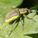 Groene snuitkever Chlorophanus viridis