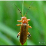 Geel soldaatje Cantharis cryptica