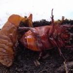 De pop van  Oryctes nasicornis Neushoornkever 4e stadium