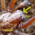 Huisspin - Tegenaria sp
