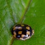 14 Stippelig Propylea quaatuodecimpunctata