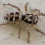 Zebraspin - Salticus scenicus