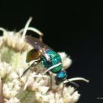 Goudwesp Chrysididae sp.