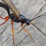 Houtsluipwesp Ichneumonidae spec.