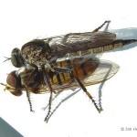 Grote-roofvlieg-Machimus