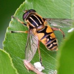 Citroenpendel-zweefvlieg-Helophilus-trivittatus