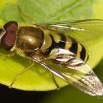 Gele-halve-maanzweefvlieg