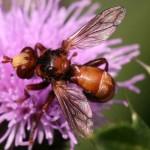 Blaaskop-vlieg-Sicus-ferrugineus