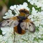 -Ectophasia-crasipennis