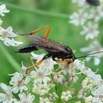 Sluipwesp Ichneumonidae spec.