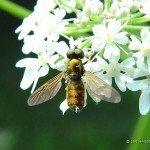 Prachtwapenvlieg-Chloromyia-formosa