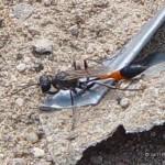 Vermoedelijk Bastaardrupsendoder  Ammophila campestris