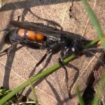 Gewone wegwesp Anoplius viaticus