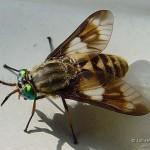 Goudoogaas-Chrysops-relictus