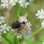 Graphomyia-maculata