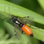 Rood zwarte bladwesp Tentredopsis scutellaris