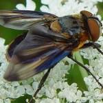 Wantssluipvlieg-Phasia-hemiptera