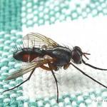 Sluipvlieg-Eriothrix-rufomaculatus