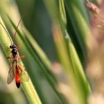 Sluipwesp Ichneumonidae