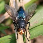 Lijkvlieg-Cynomyia-mortuorum