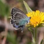 Vlinder15