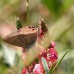 Vlinder17