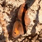Vlinder18