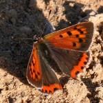 Vlinder19