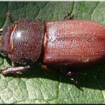 3a Net verpopte Dorcus pallelopipedus larve vliegend hert